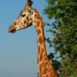 Aspinall Cillian Settanta The Giraffes