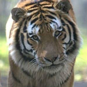 Adopt Arina The Tiger
