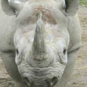 Adopt Ruaha The Black Rhino