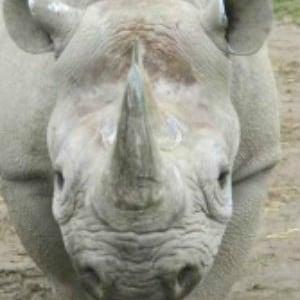 aspinal black rhino