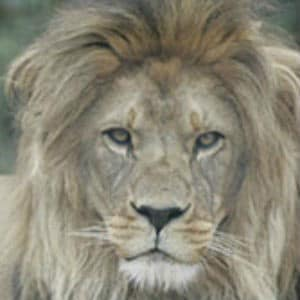 Adopt Suliman The Lion