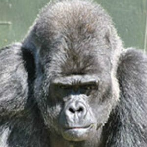 aspinall djala the gorilla