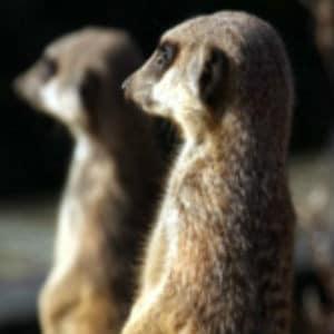 aspinall meerkat