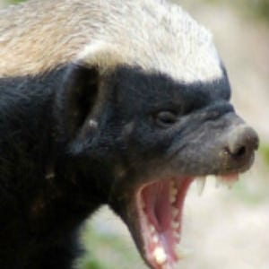 aspinall tyson the honey badger