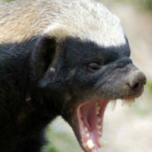 Adopt Tyson The Honey Badger