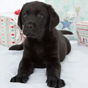 Sponsor A Puppy Berry