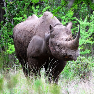 Help To Save Black Rhinos