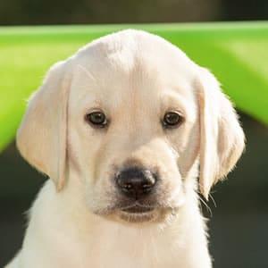Sponsor A Puppy Bolt