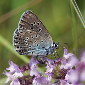 Save the Large Blue Butterfly