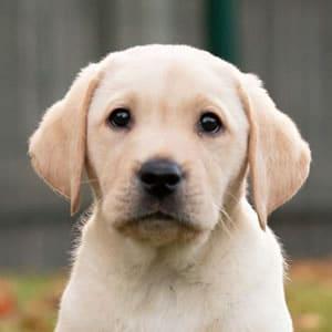 Sponsor a Puppy Charlie