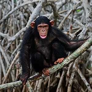 Support Nigeria and Chimpanzees