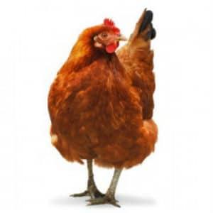 concern chicken