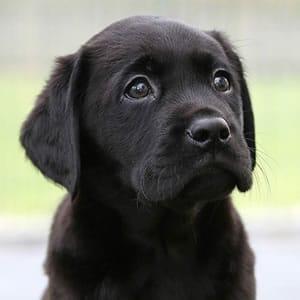 Sponsor a Puppy Eddie