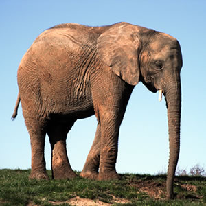 Adopt Jara The Elephant