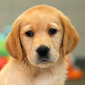 Sponsor a Puppy Fifi