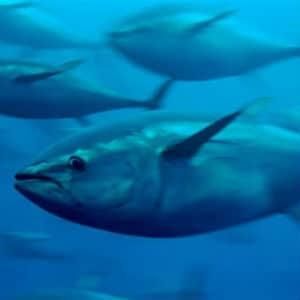 greenpeace tuna