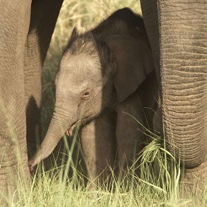 Help protect Asian elephants