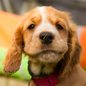 Sponsor a Puppy Jade