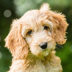 Sponsor A Puppy Juno
