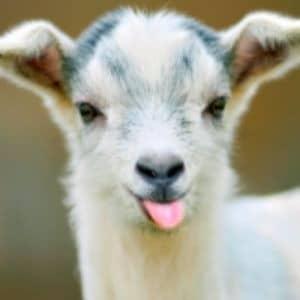 A Kid Goat