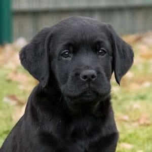 Sponsor A Puppy Milo