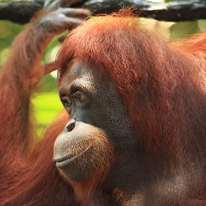 Donate To Save Orangutans