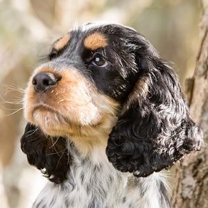 Sponsor A Puppy Otis