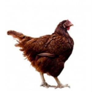 present aid chicken