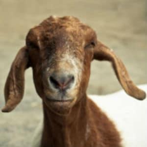 present aid goat