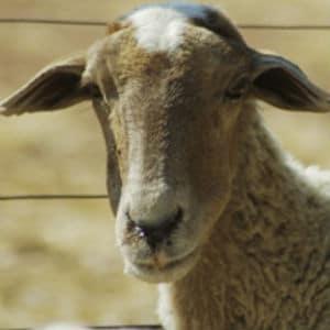 present aid sheep