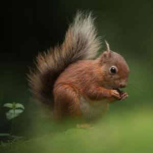 Save The Red Squirrel
