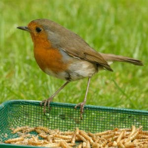 rspb dried mealworms