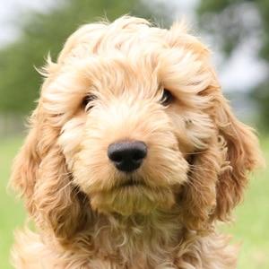 Adopt Hearing Dogs Senna