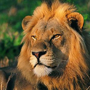 wwf lion