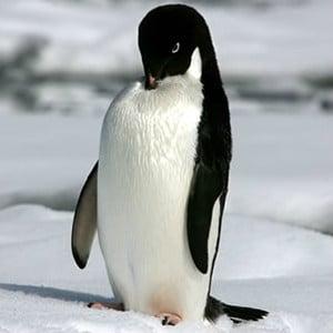 wwf penguin