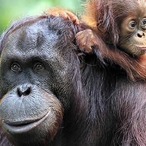www orangutan