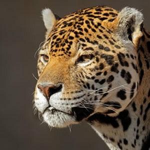 wwf jaguar