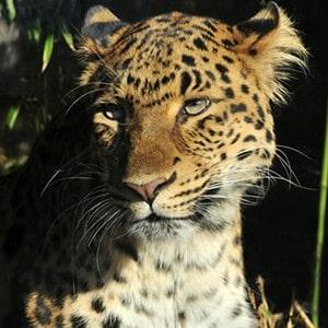 wwf leopard