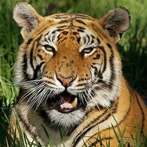 wwf tiger