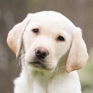 Sponsor A Puppy Otto