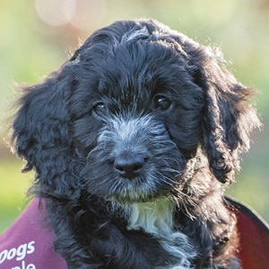 Hearing Dogs Scout