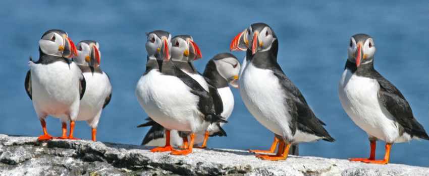 National Trust Helping Protect UK's Puffin Population