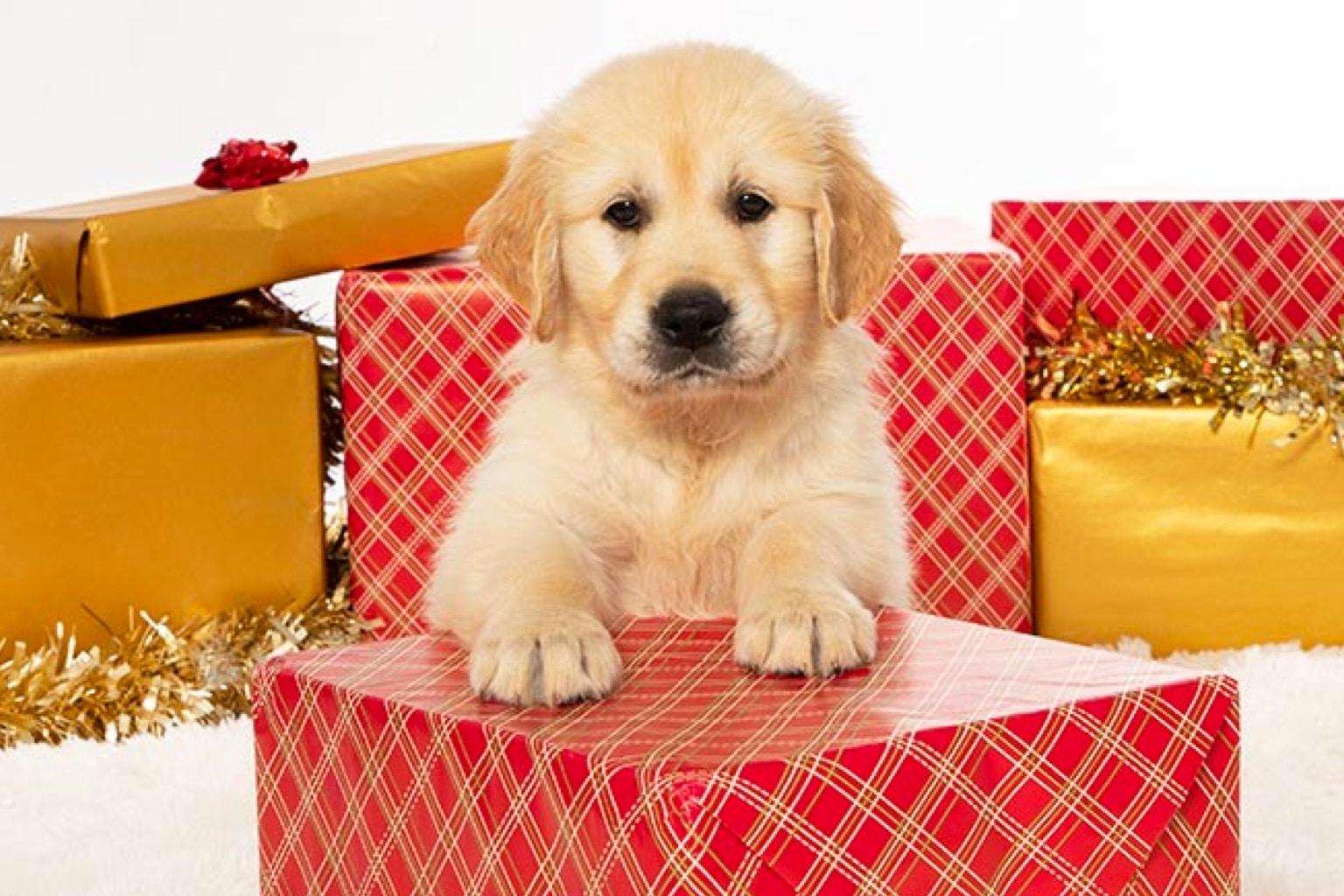 Sponsor a Puppy Bailey