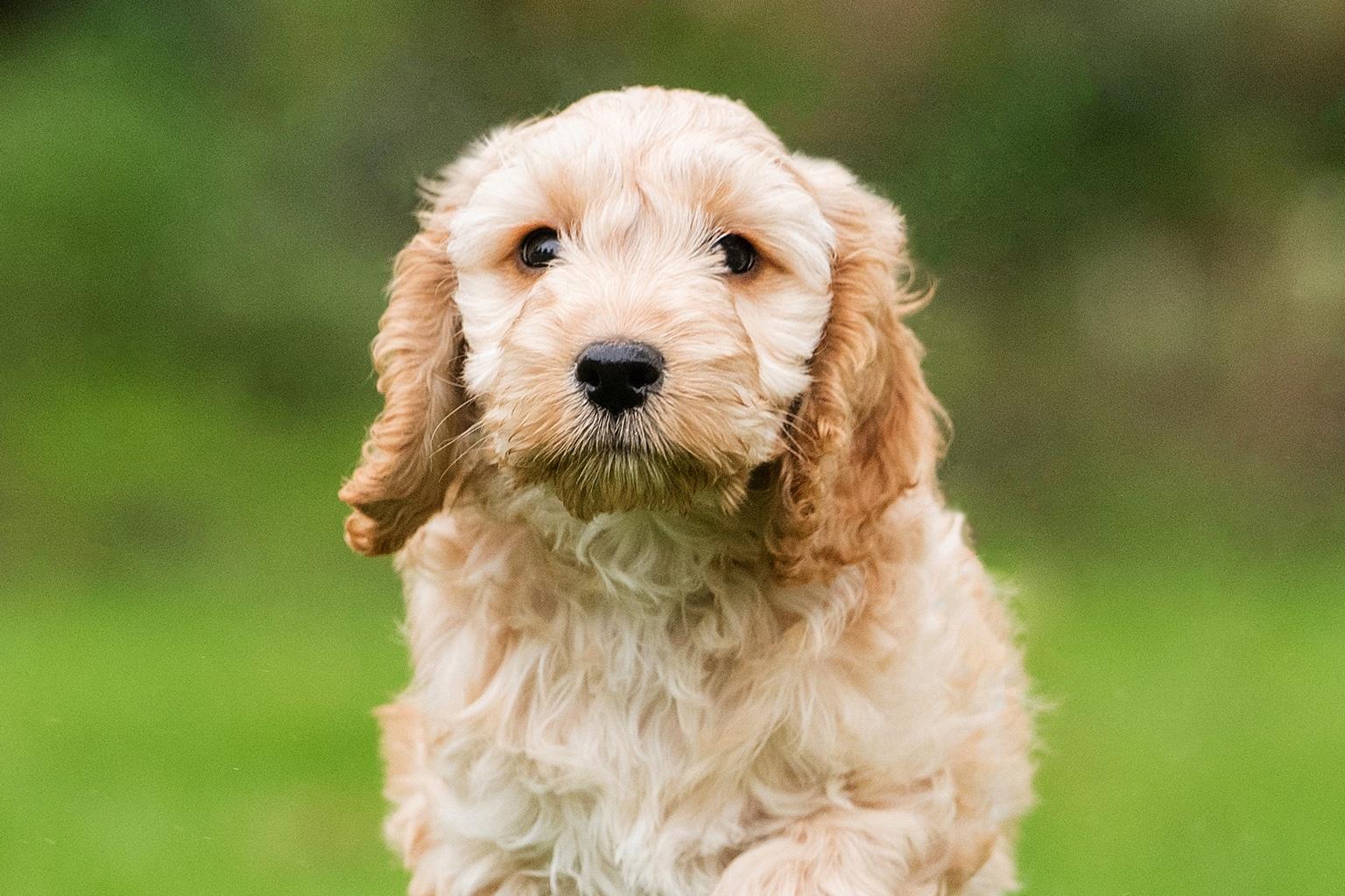 Sponsor A Puppy Daisy