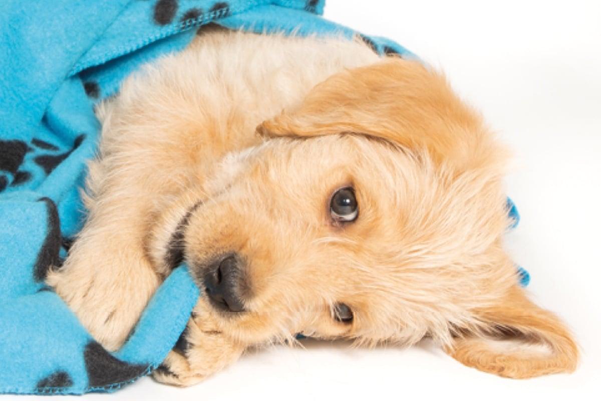 Sponsor a Puppy Cooper