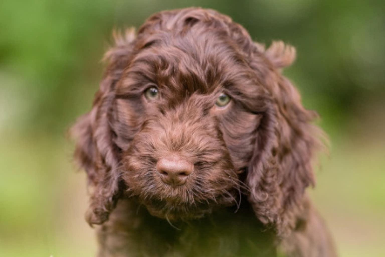 Sponsor A Puppy Harvey
