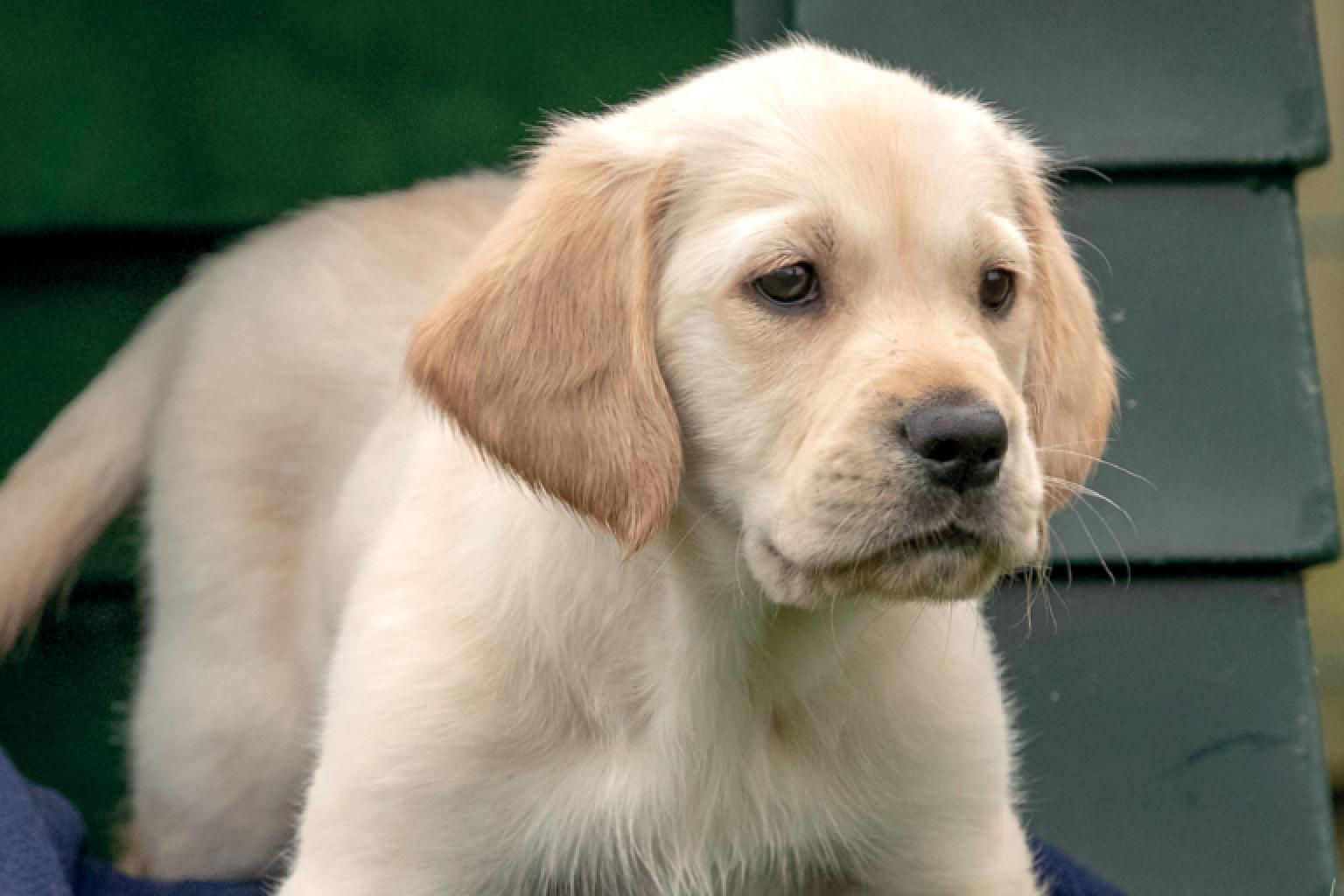 Sponsor A Puppy Murphy