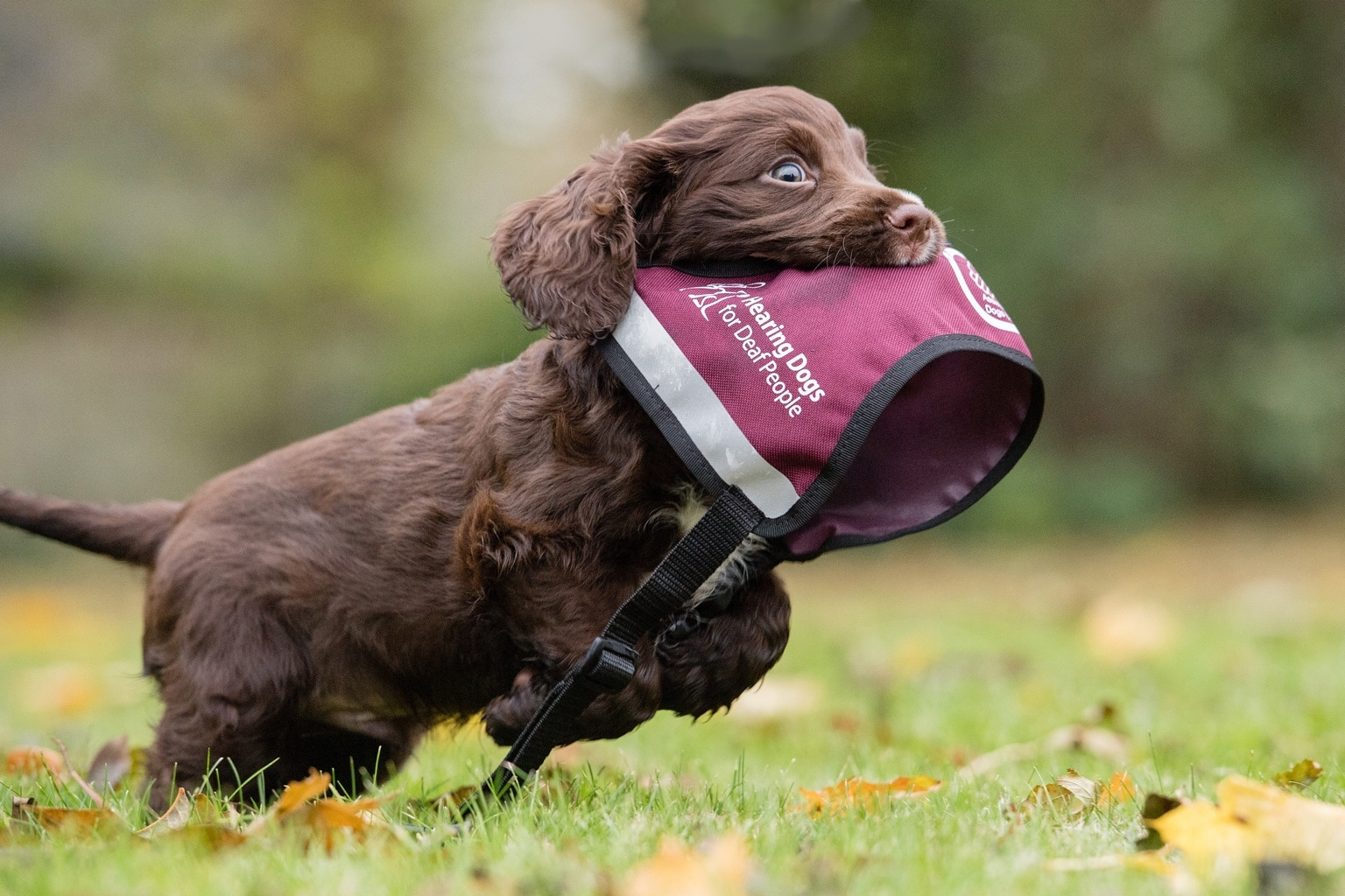 Sponsor a Puppy Rico