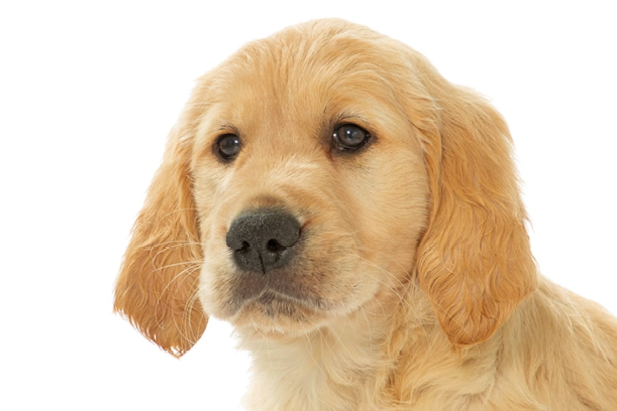 Sponsor A Puppy Ruby