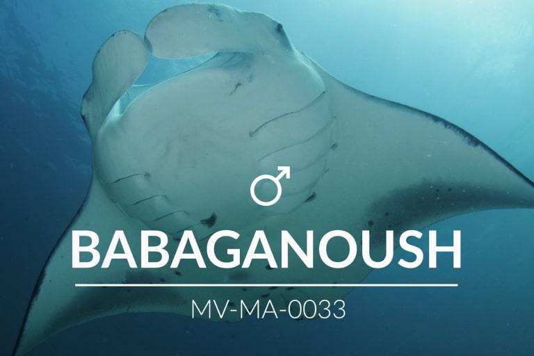 Adopt a Manta – Babaganoush